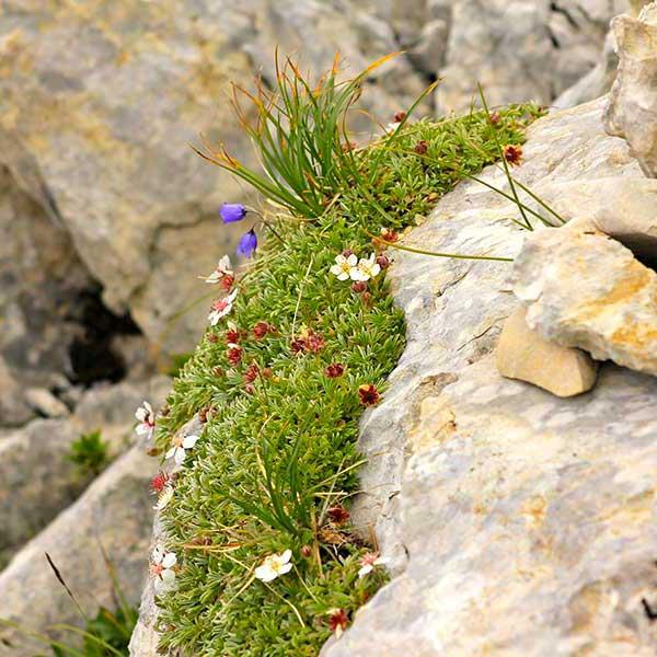 Fleurs de montagne en Chartreuse