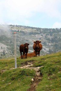 Vaches en Chartreuse vers la Croix de l'Alpe